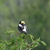 """""""Upside down"""" Bobolinks, with the complex pattern on top and dark plumage below, dot the grassy fields. (Photo by participant Jonathan Fry)"""