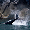 Humpback Whale tail-slapping in Kenai Fjords (Photo by participant Linda Rudolph)