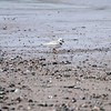 A Piping Plover surveys the beach on Nova Scotia's eastern shore. (Photo by participant Mary Lou Barritt)