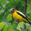 Evening Grosbeak has to be one of the continent's most beautiful birds... (Photo by participant Doug Clarke)