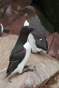 A fine portrait of a Razorbill -- and what's that behind it? (Photo by participant Doug Clarke)