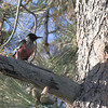 Lewis's Woodpecker is one of the more unusually patterned woodpecker species. (Photo by participant Jeff Wahl)