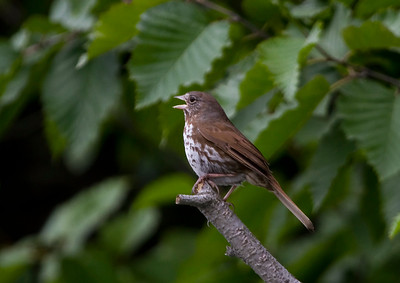 """""""Sooty"""" Fox Sparrow (Photo by participant Linda Rudolph)"""