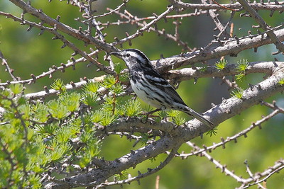 Numerous warblers are featured on this tour, including Black-and-white. (Photo by participant Doug Clarke)