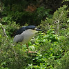 This Black-crowned Night-Heron was nesting by a highway bridge near Ocean City. Photo by participant Tatiana Neumann.