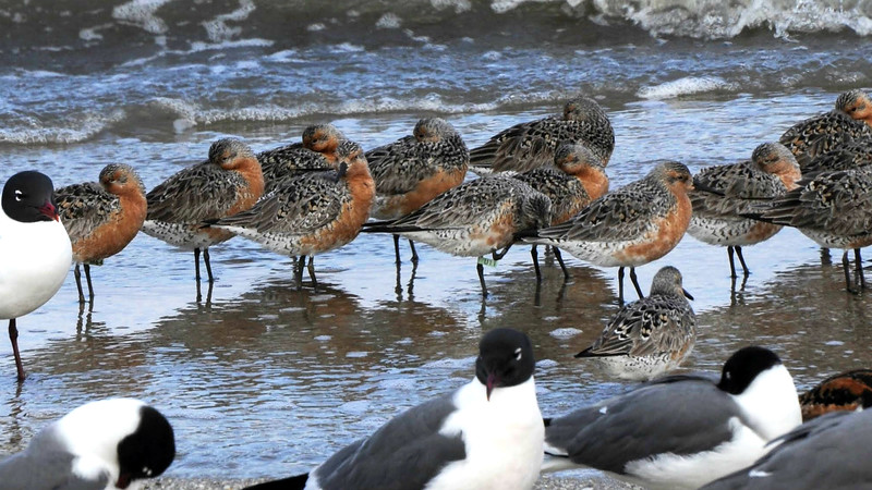 ...Horseshoe Crab eggs and Red Knots feasting on them. Laughing Gulls get in on the action, too. Photo by participant Tatiana Neumann.