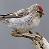 Which redpoll? Well, Hoary, if indeed there is more than one species of redpoll, a taxonomic question still being debated. Photo by participant Doug Clarke.