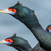 Part One takes us also to the Pribilofs, where seabirds like Red-faced Cormorants show off in abundance. Photo by participant Herb Fechter.