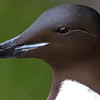 Slightly more subtle (!), the gape-striped Thick-billed Murre. Photo by participant Herb Fechter.