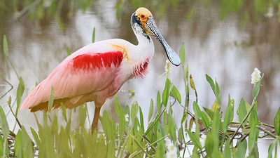 The bizarrely beautiful Roseate Spoonbill is among myriad waterbirds possible in the Pantanal. Photo by participant Bill Fraser.