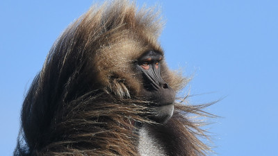 A fine portrait of a Gelada, endemic to the Ethiopian Highlands. Photo by participant Becky Hansen.
