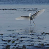 A Snowy Egret caught in a Reddish Egret pose by participant Tatiana Neumann.