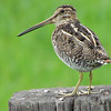 This Wilson's Snipe made a fine appearance in the open. Photo by guide Terry McEneaney.