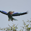 Landing's a thorny issue for this Lilac-breasted Roller by participant Becky Hansen...
