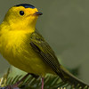 Warbler diversity is low in the far north, but Wilson's Warbler is one possibility. Photo by participant Herb Fechter.