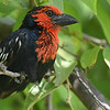 We see the impressive Black-billed Barbet on many days. Photo by participant Becky Hansen.