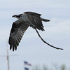 An Osprey carrying a stick back to its nest on Jarvis Sound by participant Tatiana Neumann.