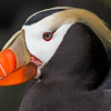 The super-stylish Tufted Puffin, photographed by participant Herb Fechter.