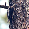 American Three-toed Woodpecker is largely a far-northern species, but in the Rockies it reaches far south into northern AZ and NM. Photo by guide Cory Gregory.
