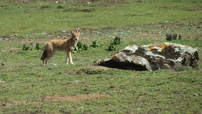 An elegant and highly endangered Ethiopian Wolf is a thrill to see on every tour. Photo by participant John Geale.