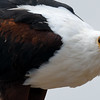 African Fish-Eagle is a regular sight near water along our route. Photo by participant Becky Hansen.