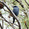 Pinyon Jay is another target bird, especially for easterners. Photo by participant Rey Larsen.