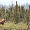 Bull Moose in a bog along the Denali Highway. Photo by participant Herb Fechter.