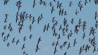 There's lots of great shorebirding on the tour: here's a mixed flock, mostly dowitchers, by participant Tatiana Neumann.