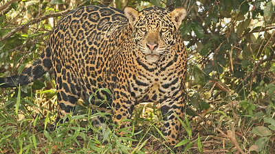 We had great luck with Jaguar again on this year's trip, as this image by participant Bill Fraser attests!