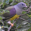 Bruce's Green-Pigeons are drawn to fruiting figs. Photo by participant Becky Hansen.