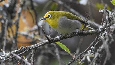 Broad-ringed White-eye has various isolated populations that may be split. The birds in Ethiopia belong to the Montane group. Photo by participant Becky Hansen.