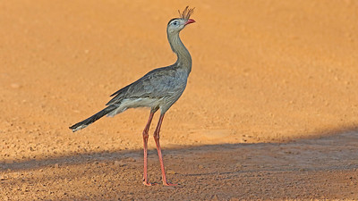 This Red-legged Seriema strode out of the grasses to our group's delight. Photo by participant Bill Fraser.