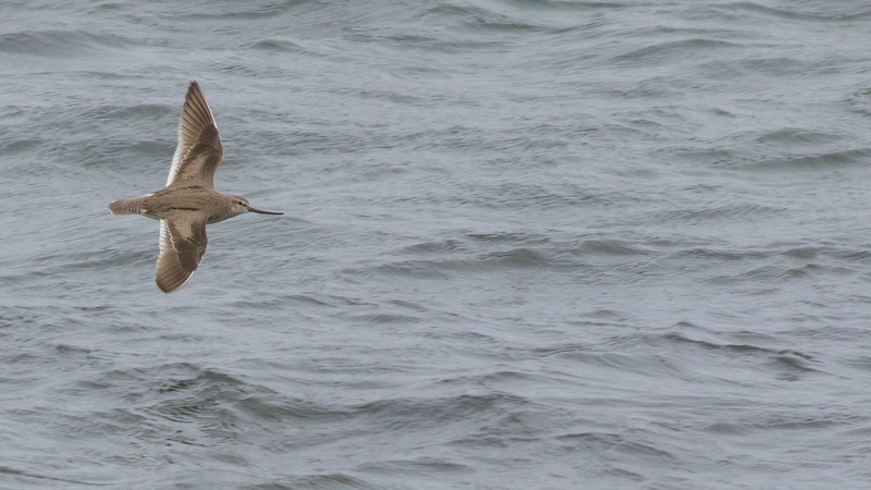 When birding on St. Paul Island in The Pribilofs, we always hope for some Asiatic strays. Guide Doug Gochfeld captured this Terek Sandpiper in flight.