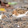 We begin this month's Recent Photos Gallery with participant Pieter Poll's stunning image of a Little Stint in breeding plumage from one of four Alaska tours. We will also be sharing sightings from Texas, Arizona, and Pennsylvania. International tours also included this month include Spitsbergen, France, Kenya, Ghana, Brazil, and Peru.