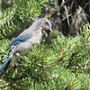 The pink gape gives away this Woodhouse's Scrub-Jay as a recently fledged juvenile. Photo by participant Dan Kirby.