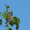 We enjoyed exceptional views of this singing male Golden-winged Warbler at Scotia Barrens. Photo by guide Micah Riegner.