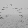 Guide Tom Johnson snapped this photo of an impressive flock of White Ibis gliding by.