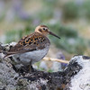 The ptilocnemis subspecies of Rock Sandpiper is restricted to breeding on a few islands in the Bering Sea. Photo by guide Doug Gochfeld.
