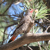 The red-shafted version of Northern Flicker is the expected plumage west of the Rockies. Photo by participant Dan Kirby.