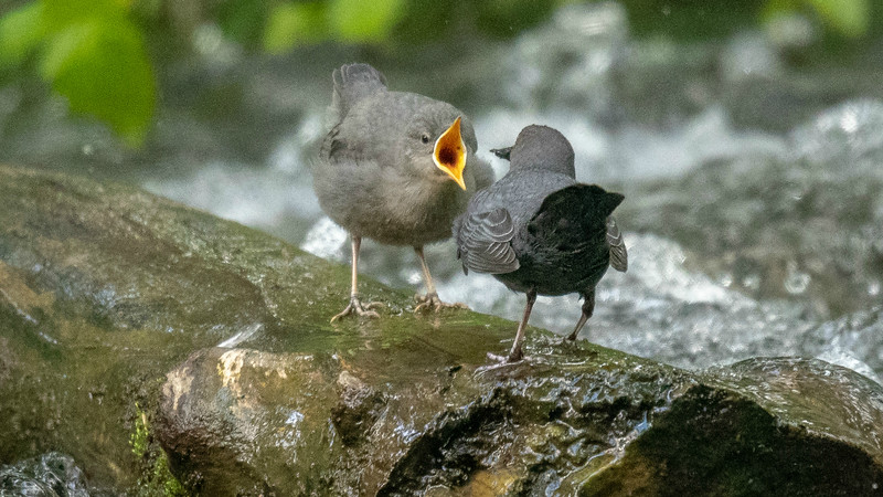 This juvenile American Dipper is clearly showing its parent where to insert the next meal. Photo by participant Pieter Poll.