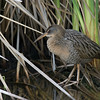 A denizen of coastal marshes, this Clapper Rail gave us a tremendous look. Photo by guide Tom Johnson.