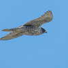 Participant Pete Peterman shared this image of a Gyrfalcon on the move. Likely it was hunting for its favorite prey...