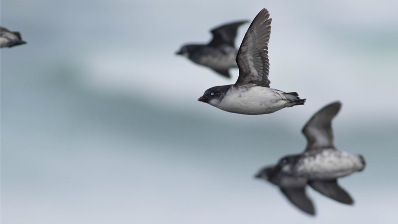 Shorebirds in Alaska are amazing, and the seabird action is fantastic, too.  Guide Doug Gochfeld photographed a flock of Least Auklets whizzing by.