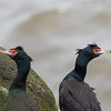 St. Paul Island is THE place to see Red-faced Cormorant, a range-restricted species. Photo by guide Cory Gregory.