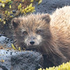 Beyond the birds, Alaska also sports an impressive list of charismatic mammals. Arctic Foxes are quite habituated on St. Paul Island. Photo by guide Cory Gregory.