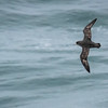 Northern Fulmars, with their enhanced olfactory capabilities, are the Turkey Vultures of the sea. Participant Pete Peterman caught this dark morph in flight.