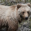 One of the signature species of Denali National Park we always hope to encounter (from the safety of the bus) is Grizzly Bear. Photo by participant Pete Peterman.