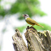Participant Elisa Taylor-Godwin shared this image of a teed-up Mourning Warbler singing.
