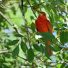 A male Summer Tanager fails to hide his brilliance in the subcanopy. Photo by participant Dan Kirby.