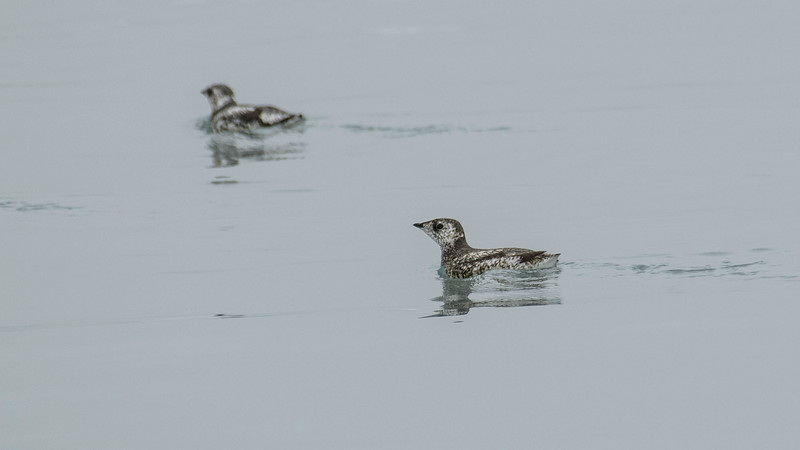 Kittlitz's Murrelets are one of the range-restricted targets during our boat cruise out of Seward. Photo by participant Pete Peterman.